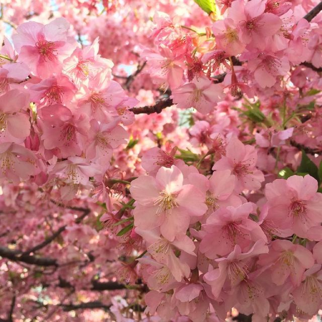 Cherry Will Blossom in PH Soon