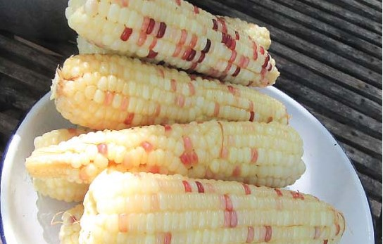 Former OFW now specializes in producing bicolor corn