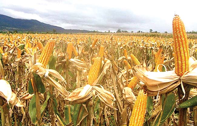 Historic first under Duterte: PH ready to export corn