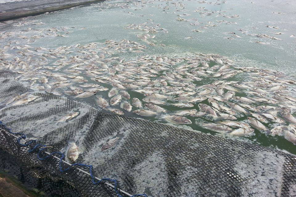 5 tons of tilapia die in South Cotabato fish kill