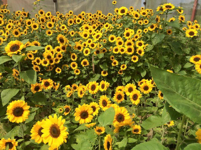 First 'sunflower maze' in PH to open in Pangasinan