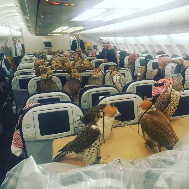 Saudi Prince buys 80 plane tickets for his falcons