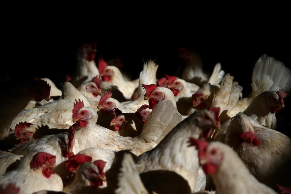 manok poultry The poultry industry began as a backyard enterprise but has shifted to the formation of very large integrated contract farming operations ecological implications livestock production impacts on the.