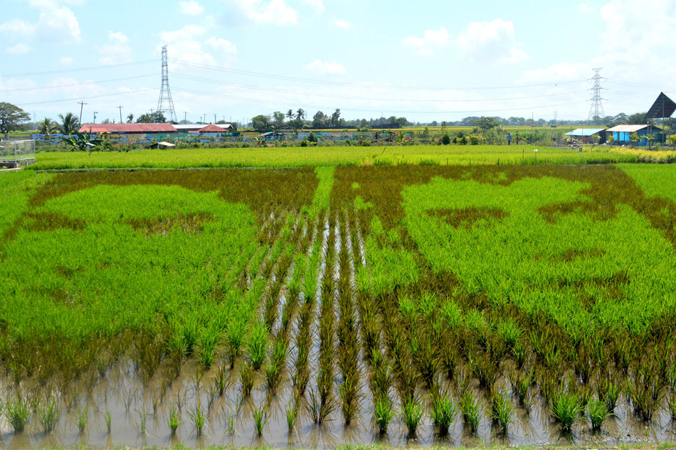 PhilRice's rice paddy art featuring FPJ and Coco Martin