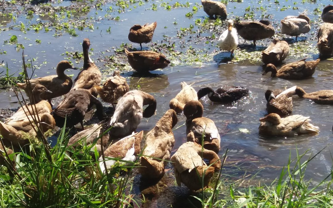 100 dead ducks stun CamSur residents