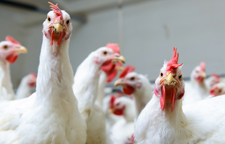 Still no human case of bird flu—DOH