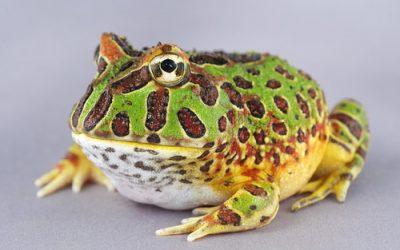 Extinct 'Pac-man' frog was dinosaur killer: study