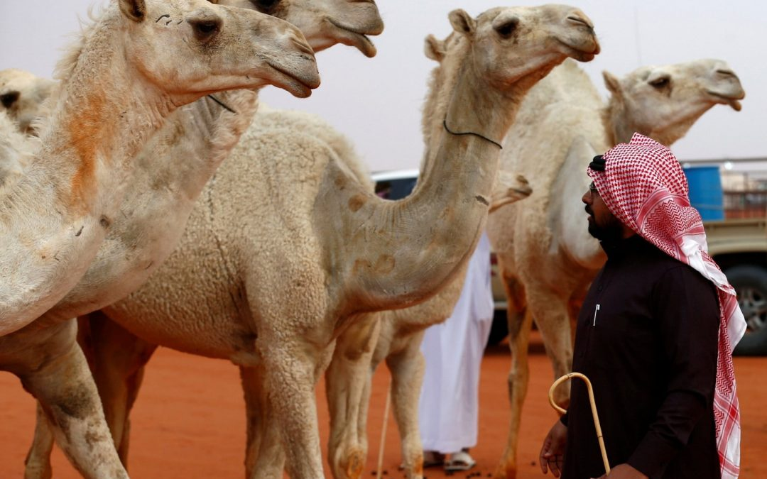 Camels left pouting as Saudi beauty contest disqualifies them for having botox