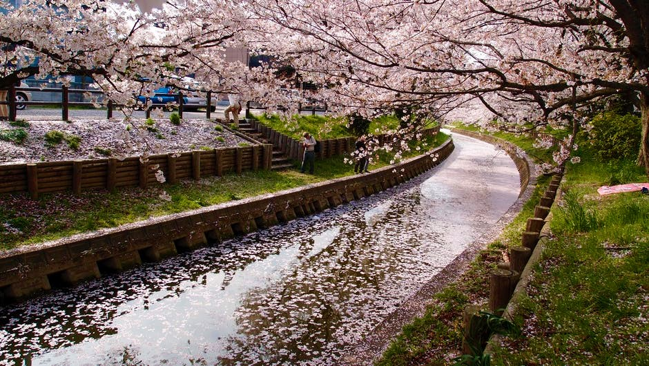 Here's when you can catch cherry blossoms in Japan