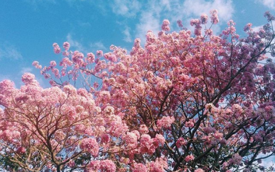LOOK: Cherry blossoms spotted in Cavite