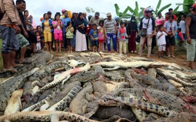 Angry mob in Indonesia massacres 300 crocodiles as form of 'revenge'