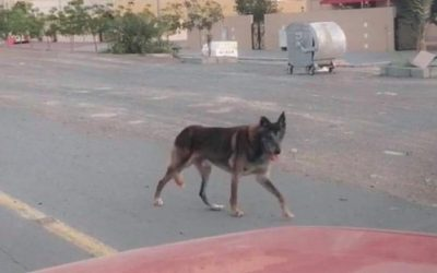 "Fujairah Municipality denies search for ""spotted wolf"""
