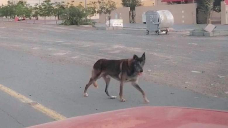 """Fujairah Municipality denies search for """"spotted wolf"""""""