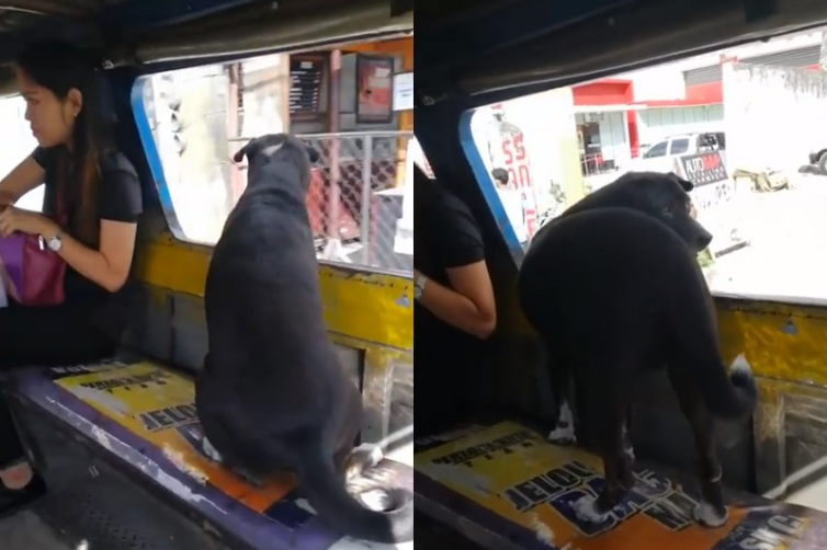 WATCH: Dog rides jeepney to chase after his master