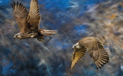 """""""Portraying falcons is destiny for me,"""" says artist Christine Schubel"""
