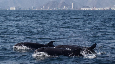Photo of LOOK: Rare false killer whales spotted in UAE after 24 years