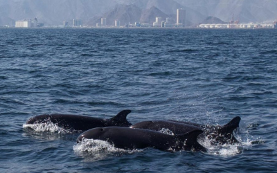 LOOK: Rare false killer whales spotted in UAE after 24 years