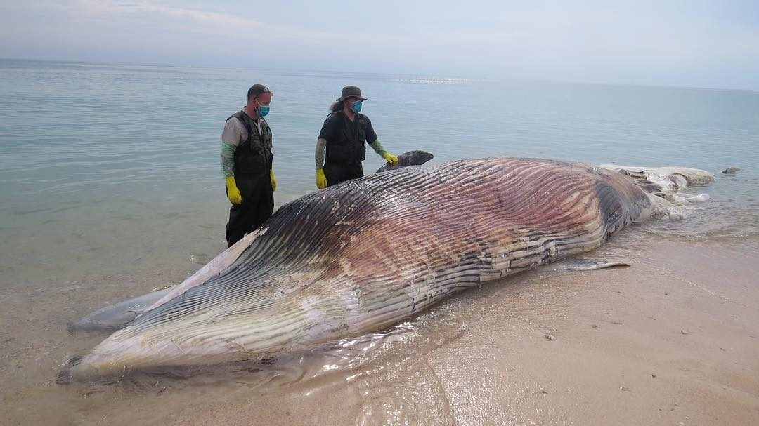 Dead whale found floating off Sharjah coast