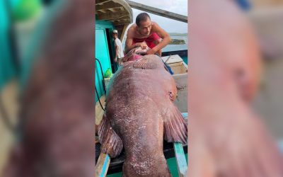 LOOK: Giant lapu-lapu as big as a person caught in Tawi-tawi