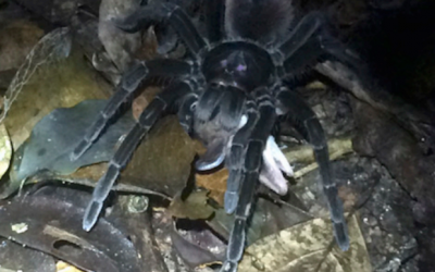 WATCH: Scientists catch video of giant tarantula dragging opossum for meal in Amazon rainforest