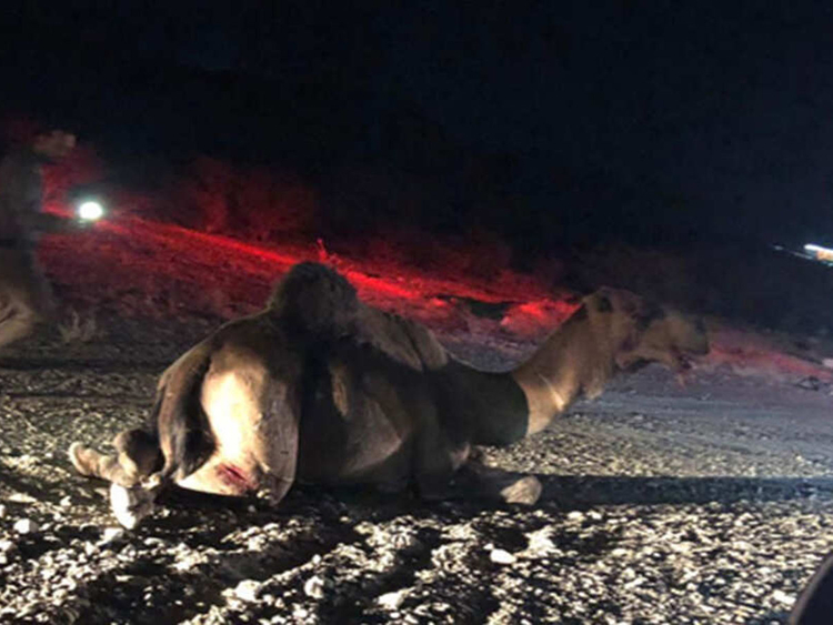 1 dead, 4 injured in car collision with stray camel