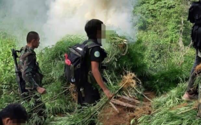 P4 million worth of marijuana plants uprooted by PDEA in Cebu