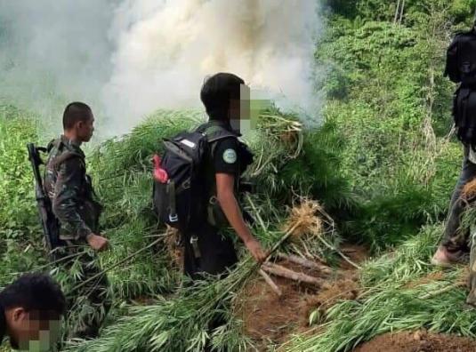P4 million worth of marijuana plants uprooted by PDEA in Cebu