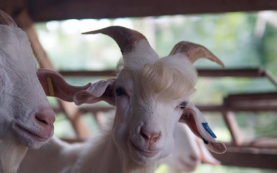 """Handsome"" goat goes viral on Facebook"