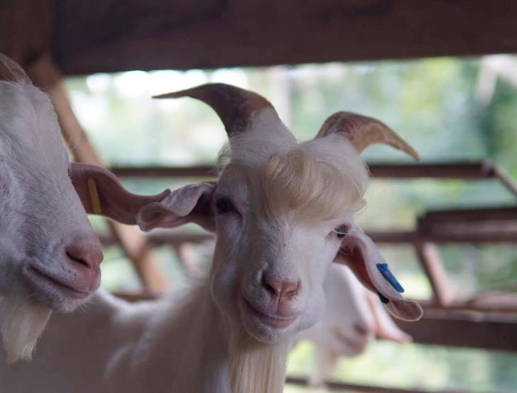 """""""Handsome"""" goat goes viral on Facebook"""