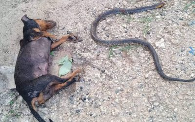 Dog dies fighting cobra to protect owner's house