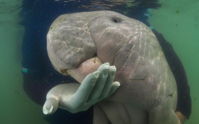 Baby dugong is Thailand's new conservation darling