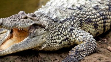 Photo of 11 year old escapes crocodile attack in Palawan