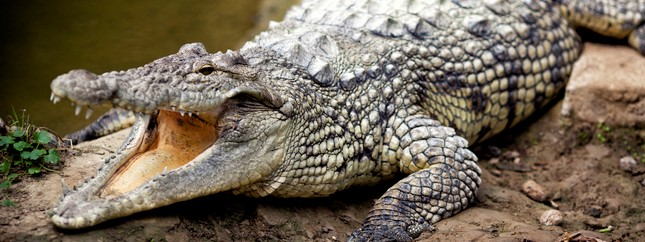 11 year old escapes crocodile attack in Palawan