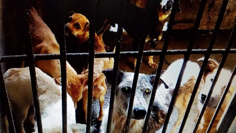 Advocates race against time to save 60 dogs to be shot to death in Bacolod