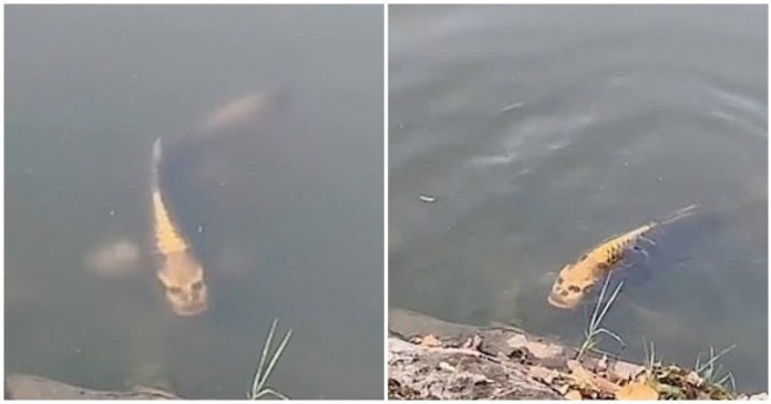 WATCH: 'Human-faced' carp spotted in China lake creeps people