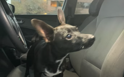 WATCH: Chihuahua drives owner's SUV on busy road