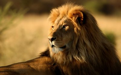 Kuwaiti gets lion's help in fight with neighbor