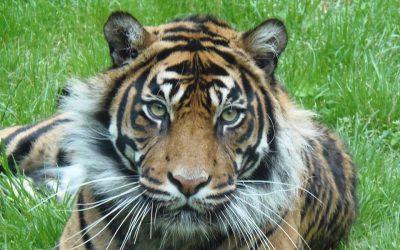 Sumatran Tiger kills farmer, injures tourist