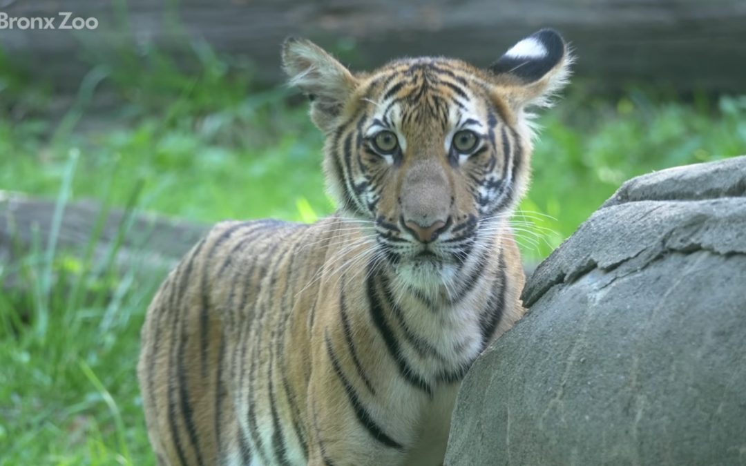 Tiger tests positive of COVID-19