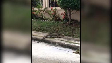 Photo of WATCH: Bayawak seen roaming a subdivision in Davao