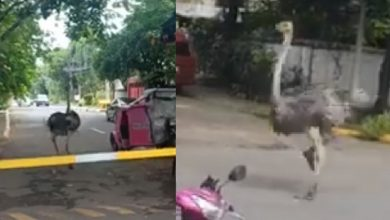 Photo of WATCH: Ostriches running loose on PH road takes internet by storm