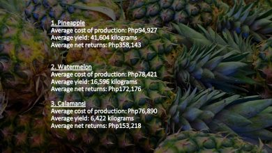 Photo of OFWs urged to invest: PH's pineapple, watermelon growers earn as much as Php350,000 per hectare